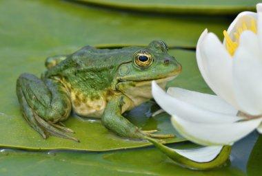 """Картина, постер, плакат, фотообои """"болотная лягушка сидит на зеленом листе """", артикул 12048223"""