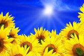 Letní slunce nad polem slunečnice