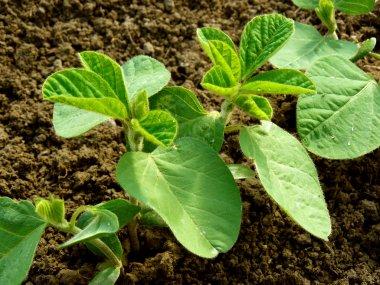 small soya plant