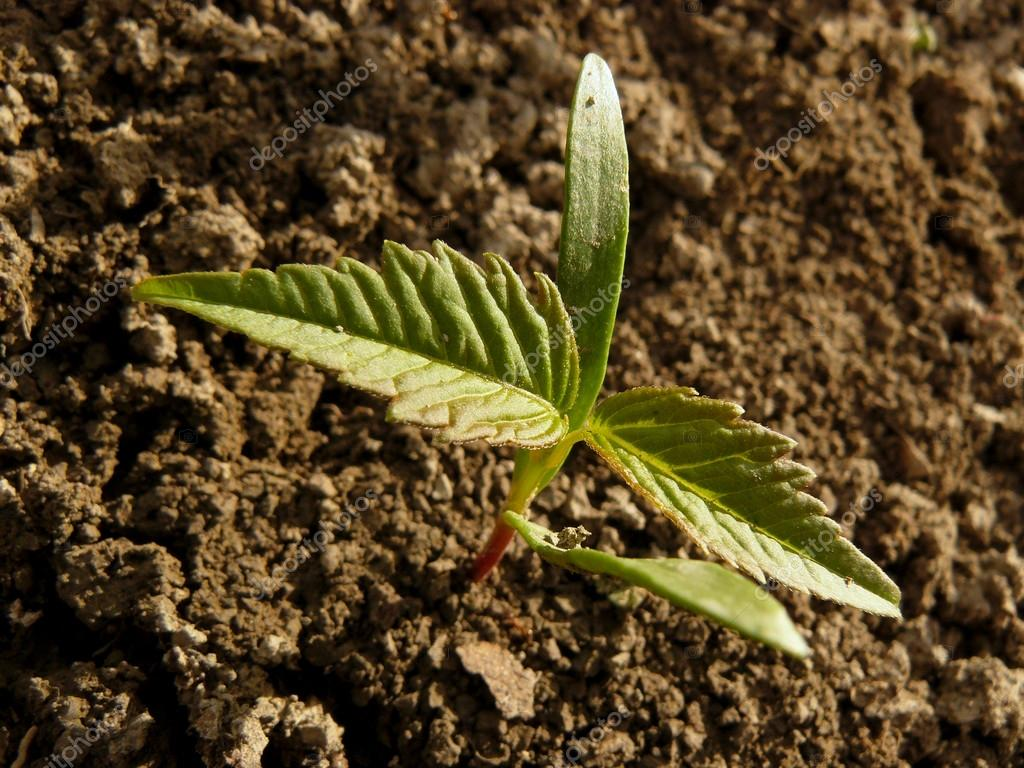 small seedling of ash-leaved maple