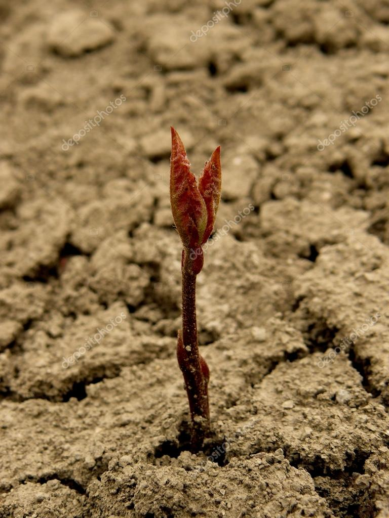 red oak tree seedling