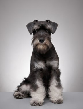 Five month old miniature schnauzer puppy
