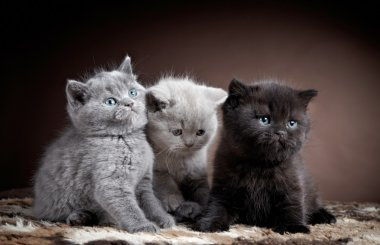 three british short hair kittens