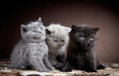 Three british short hair kittens