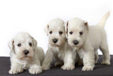 white schnauzer puppies