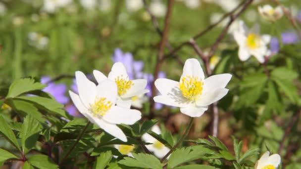 erste Frühlingsblumen im Wind bewegen