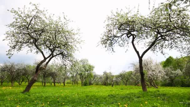 Apple zahradní květy