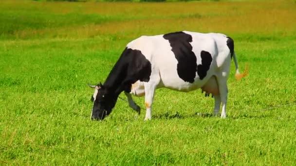kráva žere trávu