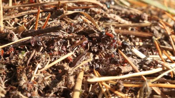Ants building anthill, macro
