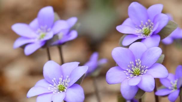 První jarní květy, pohybující se ve větru