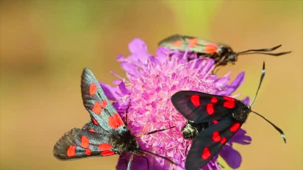 Pillangók Elcysma westwoodii, a virág