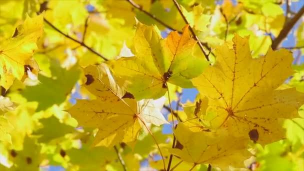 sárga juharlevél, őszi