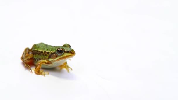 Frosch auf einem weißen