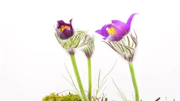 spring flowers, timelapse