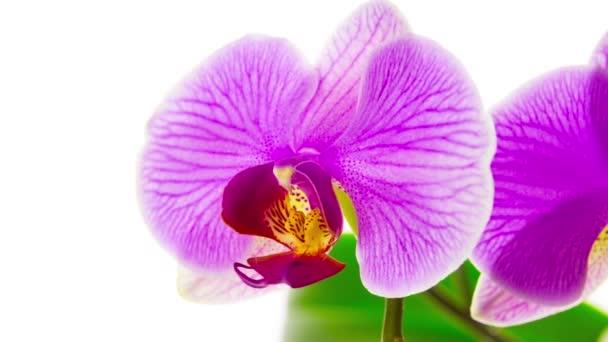 růžové orchideje