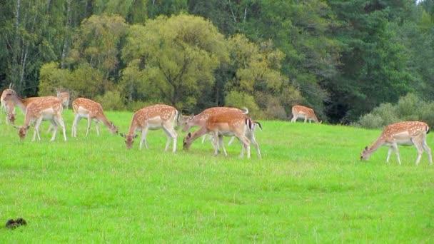 mladá sobí v pastvinách