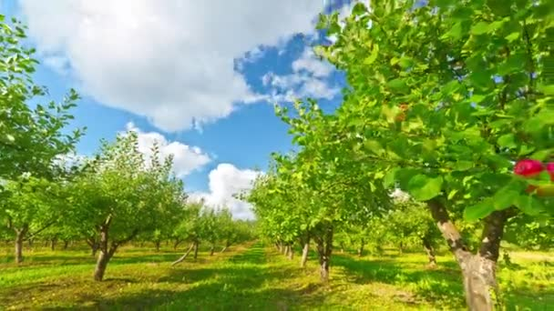 Apple orchard with ripe apples, timelapse