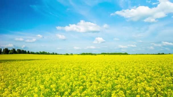 Kvetoucí pole řepky, panoramatické time-lapse