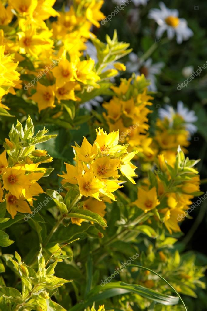 Bushes of yellow flowers in the afternoon stock photo alarich bushes of yellow flowers in the afternoon photo by alarich mightylinksfo