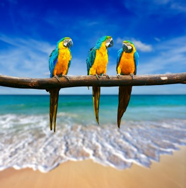 Three parrots (Blue-and-Yellow Macaw (Ara ararauna) also known a