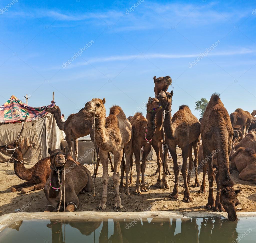 Camels at Pushkar Mela, India
