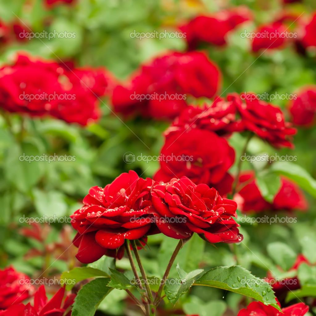 Giardino di rose rosse foto stock roxana 43814971 - Giardino con rose ...