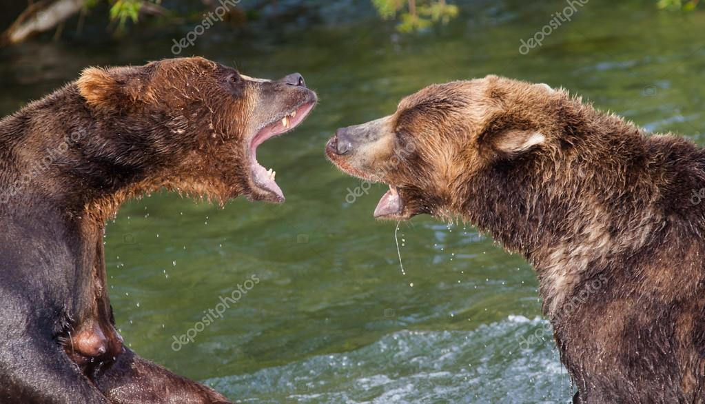 Brown Bears Fighting in the Water