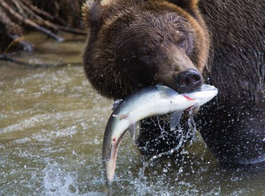 Brown Bear with a fresh catch of salmon