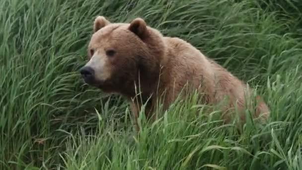 Medve és a zöld fű