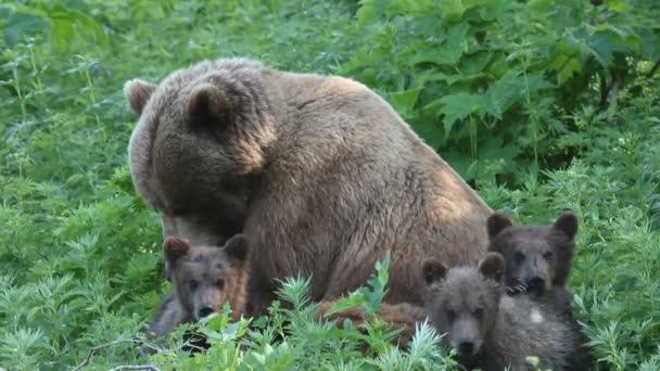nőstény medve és a medve kölykeit.