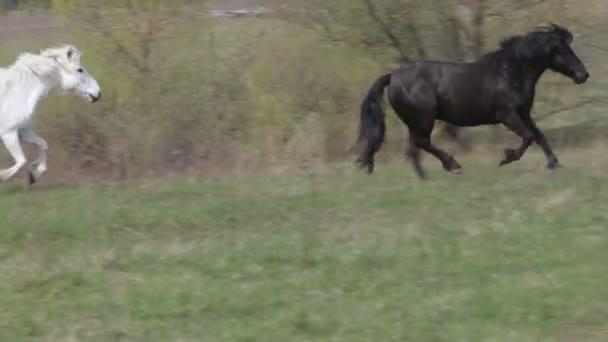 Pferde galoppieren