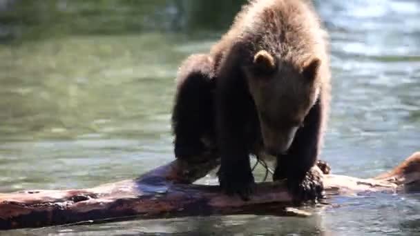 medve cub