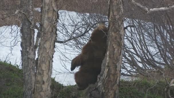 medvěd hnědý. Námluvy. označení