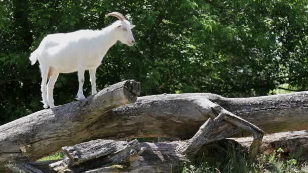 bílá koza