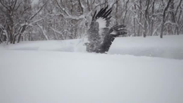Golden eagle, winter