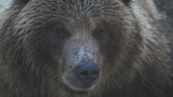 Bear, a portrait, a close up