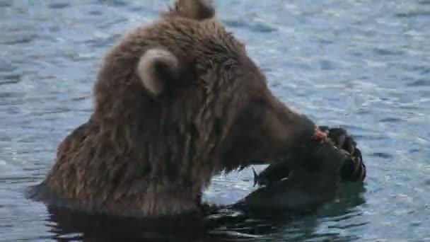 Medve eszik halat