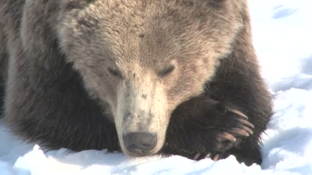 Pihenő barna medve, a téli hó