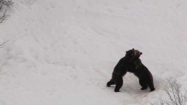 Bear strugle
