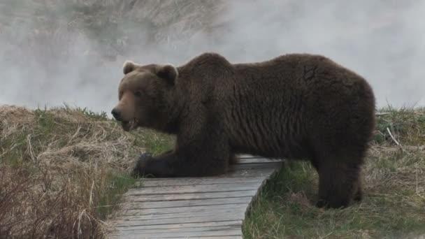medvěd hnědý. Kronocká sopka rezerva