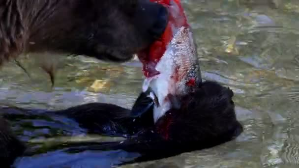 medvěd žere ryby