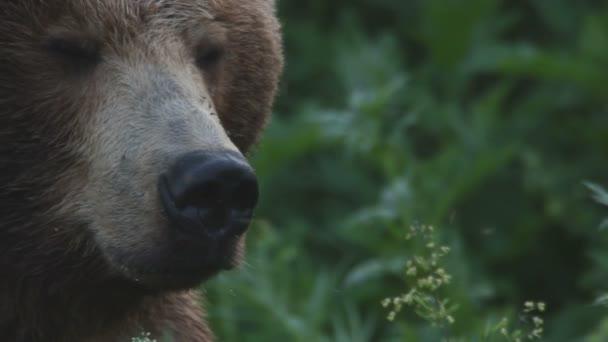 medvěd, portrét
