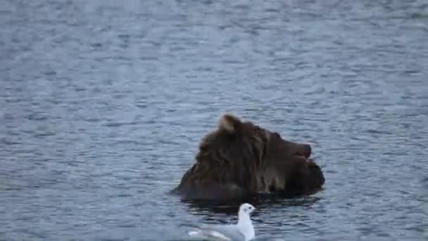 medvěd jíst čerstvé nerka