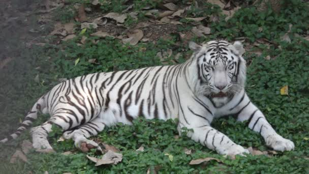 Asian white tiger