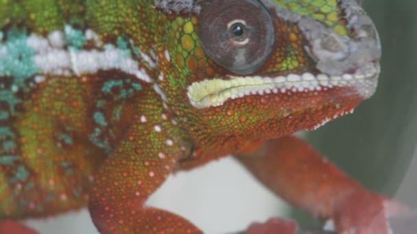 Chameleon zblízka
