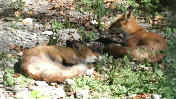 Red fox in the wildlife (Vulpes vulpes)