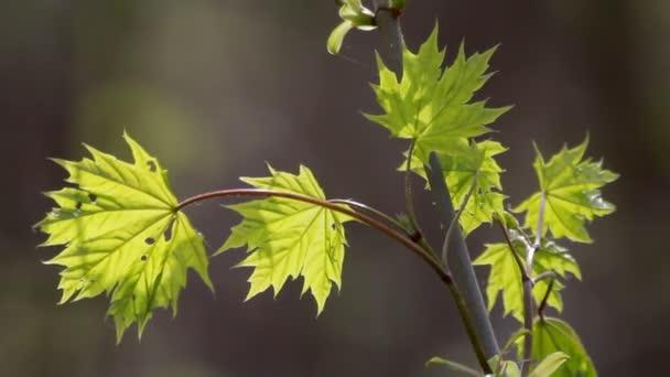 pobočka čerstvý zelený Javor dlanitolistý