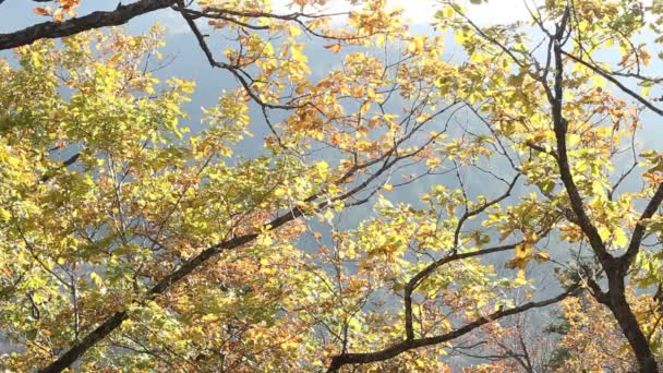Maples with red leaves in autumn forest.