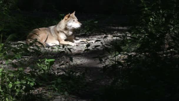 vadon élő Farkas