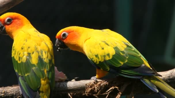Parrots eat fruit